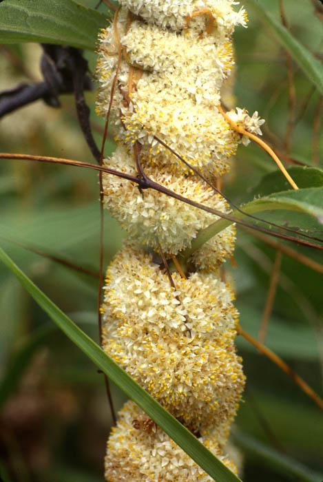 Parasitic Plant Connection - Cuscutaceae