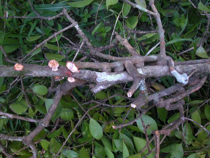 شجرة اللبان اليمنية - شجرة اللبان - اللبان والبخور