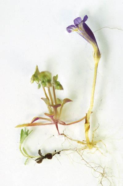 [Image: Oroban.uniflora2.JPEG]