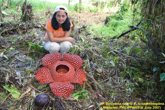 Rafflesia Schadenbergiana