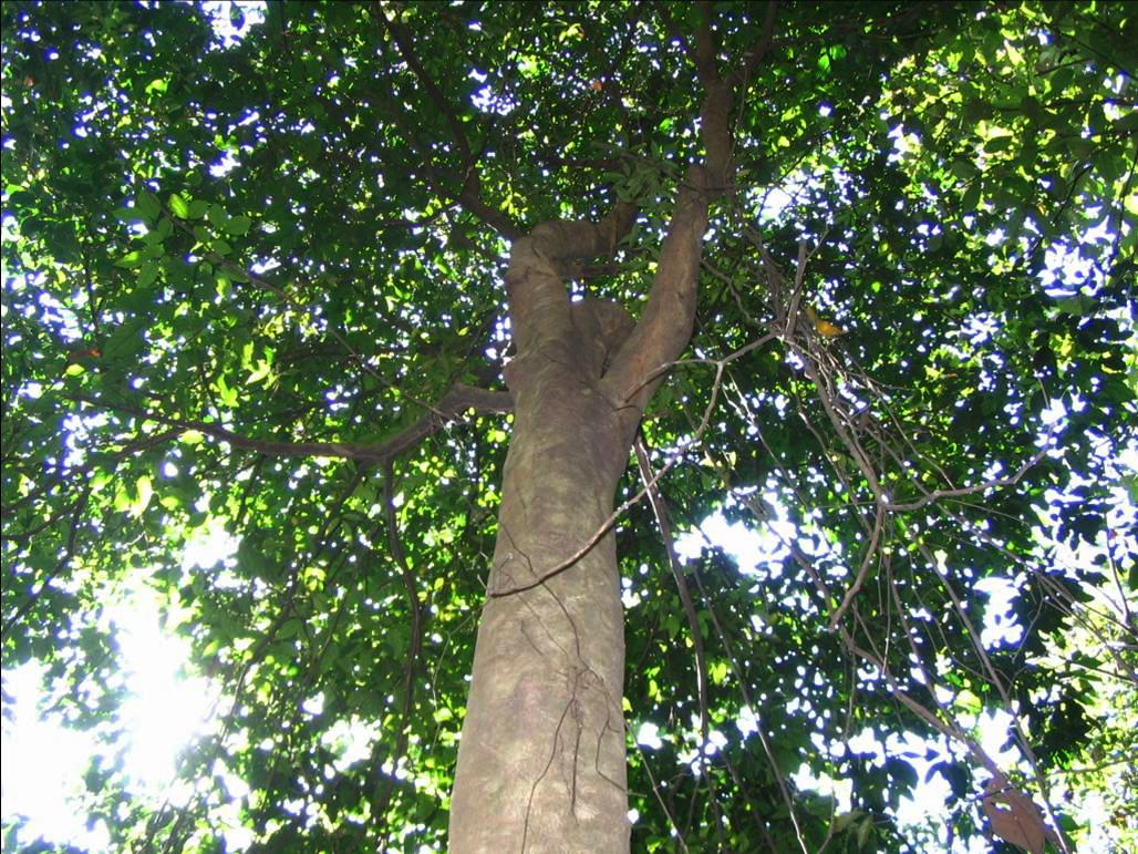 Pokok Kulim