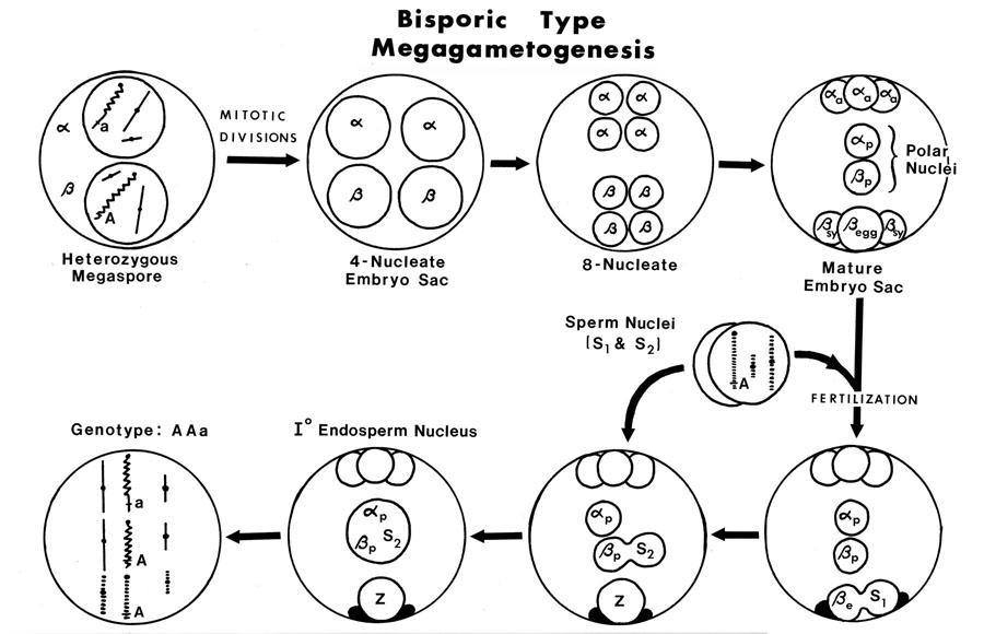 arceuthobium life cycle
