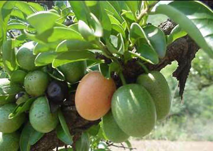 Масло ксимении получают из семян вечнозеленого дерева, иногда именуемого...