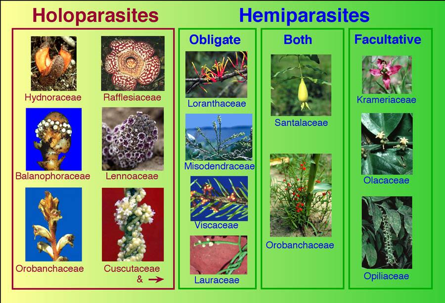 Hemiparasites és holoparasites Különbség az ektoparazita és az endoparazita között - - hírek